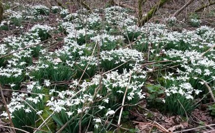 Alderwood Snowdrops